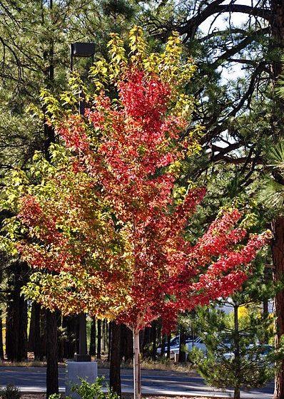 Autumn Blaze Maple Foliage Changing