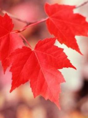 Autumn Blaze Maple Leaf