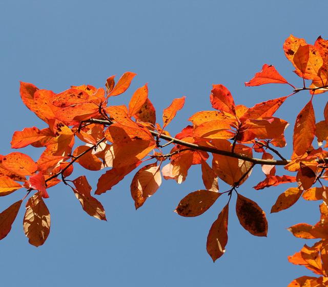 Tupelo Leaves in Autumn