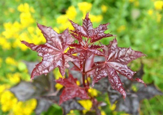 Crimson King Norway Maple Leaves