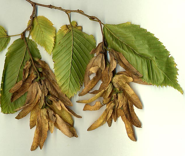 Leaves and Seed Catkins of the European Hornbeam