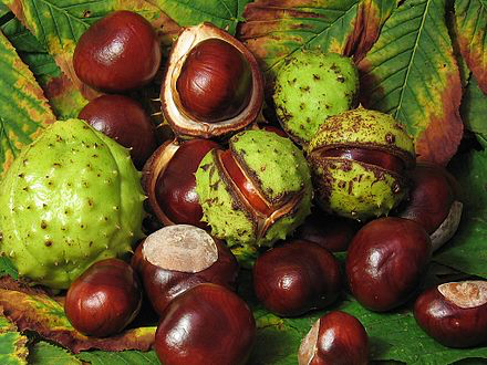 Fresh Conkers from a Horsechestnut