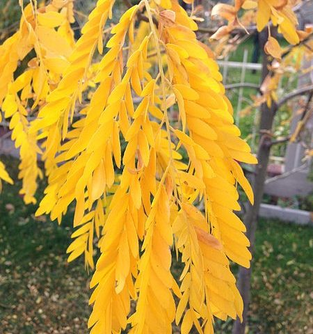 Honey Locust Leaves in Fall
