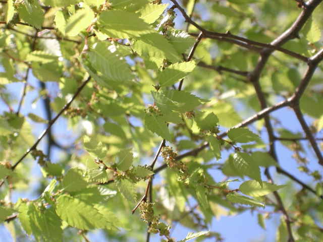 Japanese Zelkova Leaves & Foliage in Spring