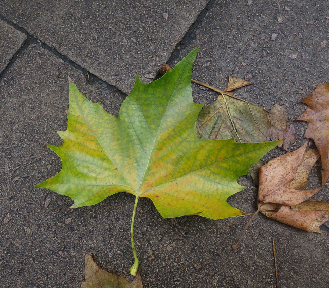 London Planetree Leaf