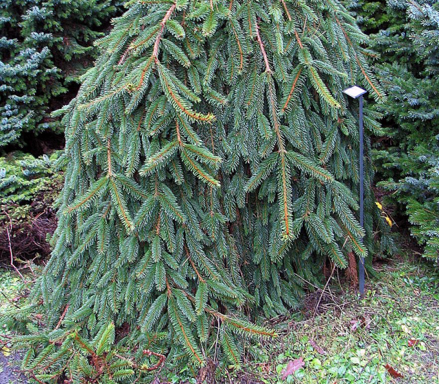 The Drooping Branchlets of the Norway Spruce