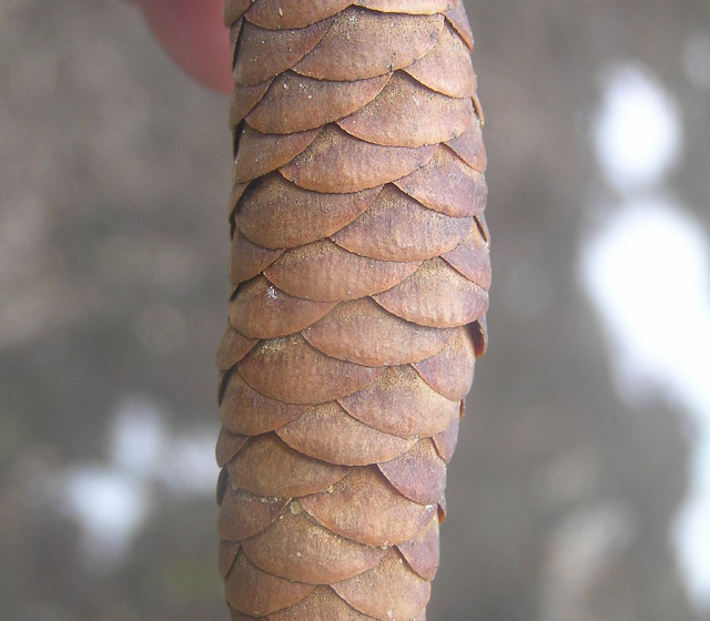 Seed Cone of a Norway Spruce