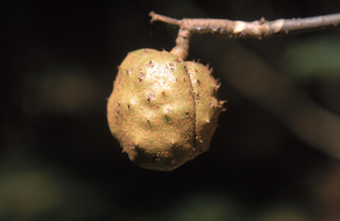 Ohio Buckeye Fruit