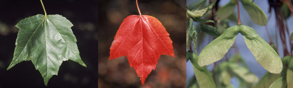 Red Maple Leaves & Seeds