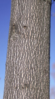 Tuliptree Bark