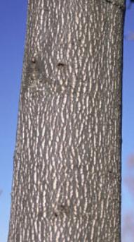 Tuliptree Bark