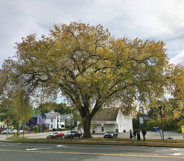 Valley Forge American Elm