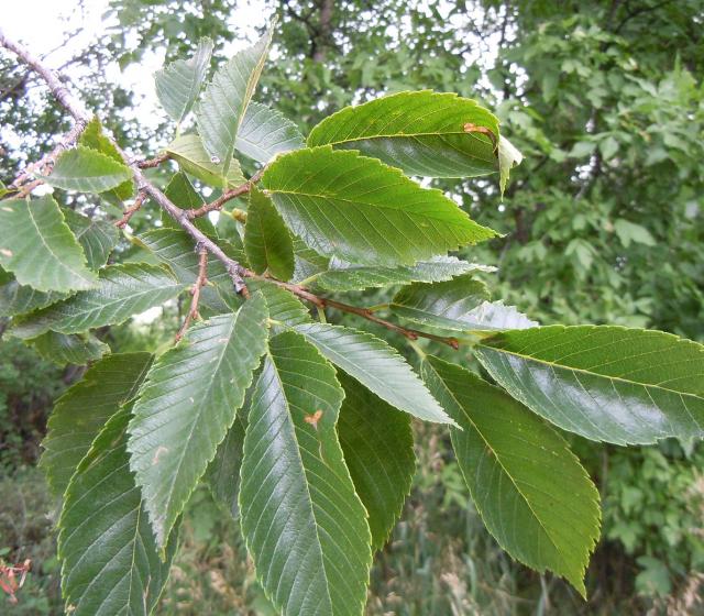 American Elm Leaves