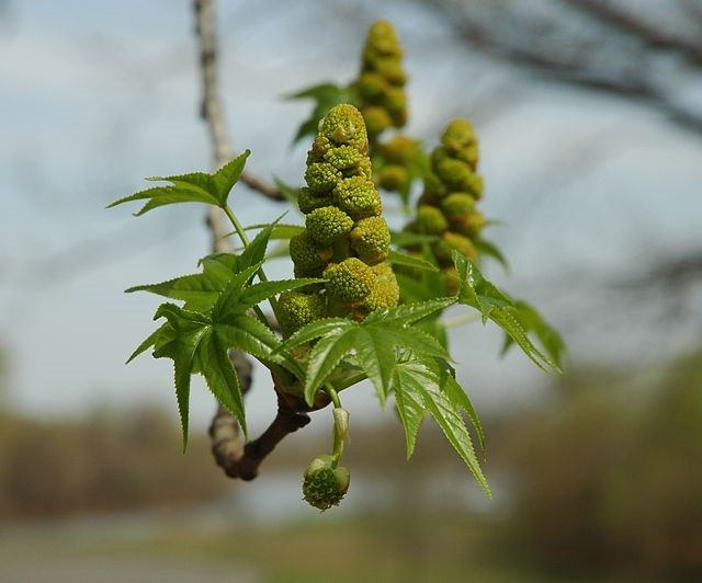 Sweetgum Flower Cluster