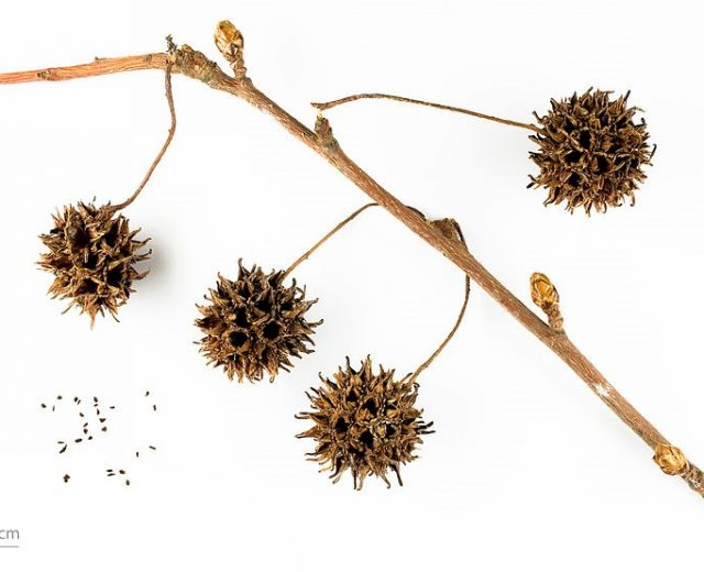 Sweetgum Gum Pods (Spiny Seed Pods)